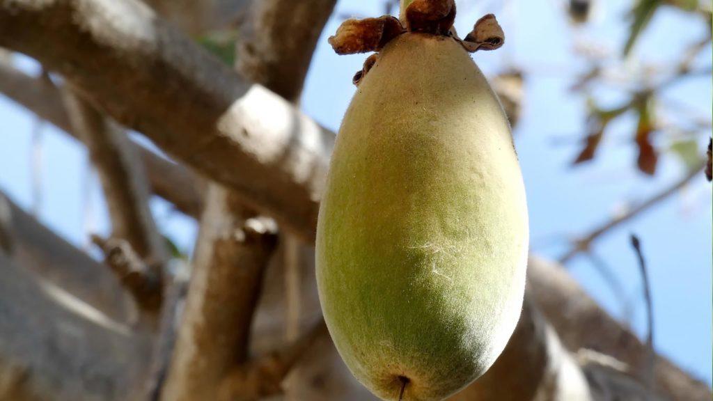 Baobab kann Infektionskrankheiten heilen
