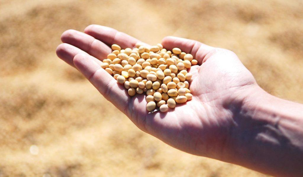 Sojaprotein ist für Anfänger der veganen Ernährung gut geeignet, da es ein vollständiges Protein ist und alle essentiellen Aminosäuren enthält