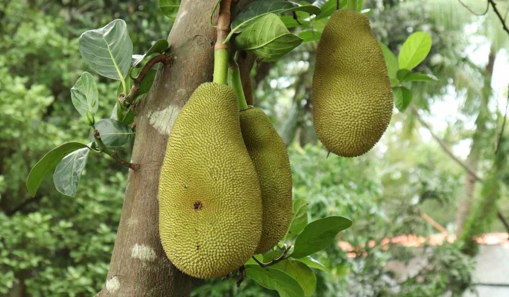 Die vegane Jackfrucht findet ihren Ursprung in Indien und ist mittlerweile auch in Asien anzutreffen